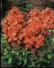 phlox_orange_perfection