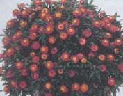 bracteantthea orange