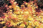 acer_palmatum_orange_dream