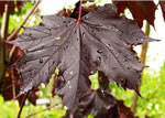 acer_platanoides_royal_red_list